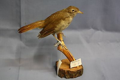 Taxidermy-hunting-chasse-präparat- Cetti's Warbler with permit