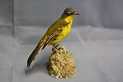 Taxidermy-hunting-chasse-präparat- Blue-headed Wagtail with permit