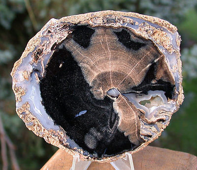 SiS: INCREDIBLE Blue Forest Petrified Wood - SUPER AGATE in a Smaller Specimen