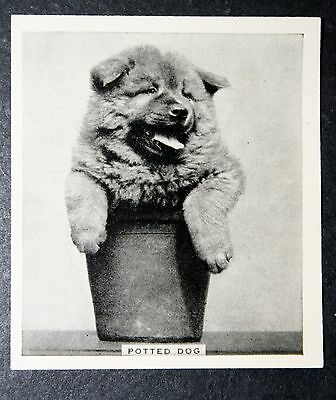 Chow Chow in Plant Pot        Original  1930's Vintage Photo Card