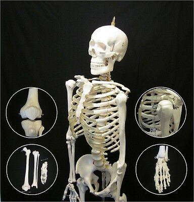 New Life Size Human Anatomical Advanced Skeleton Anatomy Model + Stand