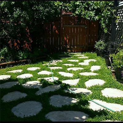 *** Miniclover ***  Ground Cover!! 3000 Seeds