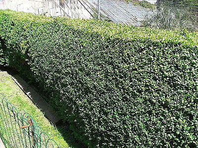 15 Common Box 30-40cm, Buxus Sempervirens,Big Bushy Evergreen Hedging Plants