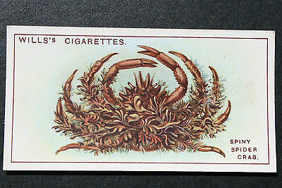 Spiny Spider Crab    1920's Vintage Illustrated Card # VGC