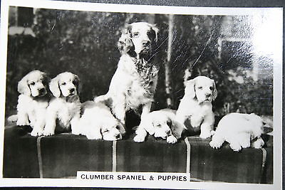 Clumber Spaniel and Puppies    Original  Vintage  Photo Card # VGC