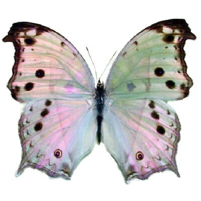 One Real Butterfly African Salamis Parhassus Mother Of Pearl Unmounted Papered