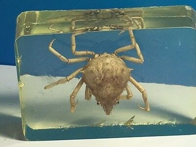 Real Horned Crab Fossil Crustacean Shellfish Marine Collectible Science Animal