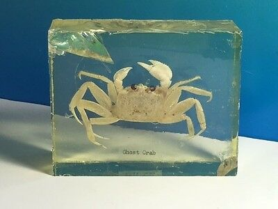 Real Ghost Crab Fossil Crustacean Shellfish Marine Collectible Science Animal Uk