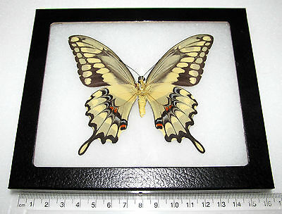 Real Framed Butterfly Yellow Arizona Giant Swallowtail Papilio Cresphontes Verso