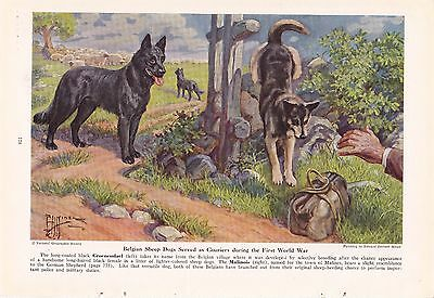 1941 Belgian Sheep Dogs Groenendael Malinois Working Dogs Edward Miner Print