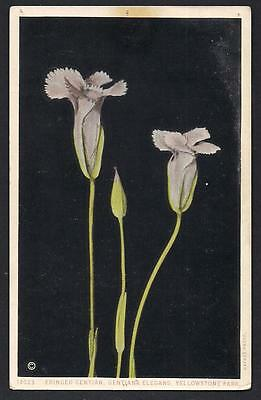 1920s Wild Flowers Fringed Gentian Yellowstone National Park WY Haynes Postcard