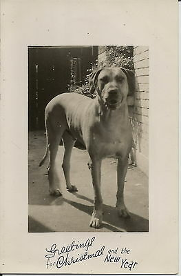 Mastiff Type Real Photographic Dog Greetings Postcard Size Card