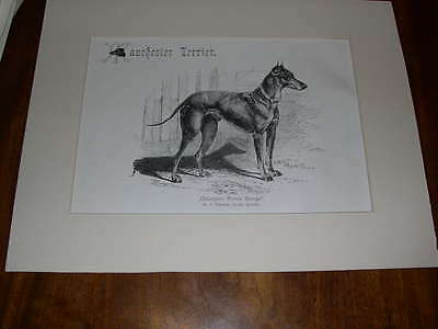 """Rare Large Antique Manchester Terrier Dog Print 1907 By R.h. Moore """"ch Prince"""""""