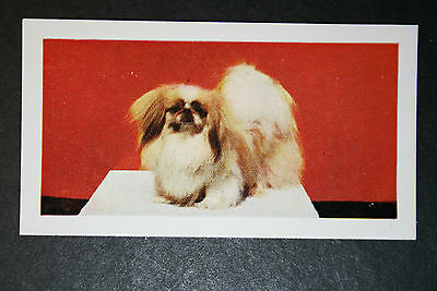 Pekingese  Vintage Colour Photo Card  ##  Excellent Condition