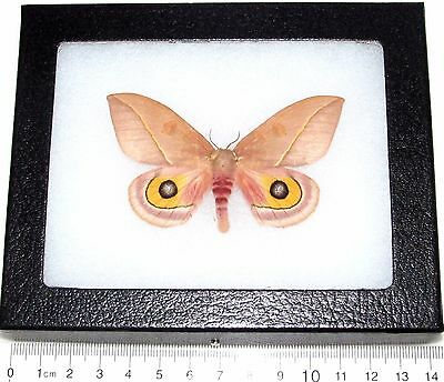 Real Framed Butterfly Moth Arizona Automeris Cecrops Pamina Female Saturniidae