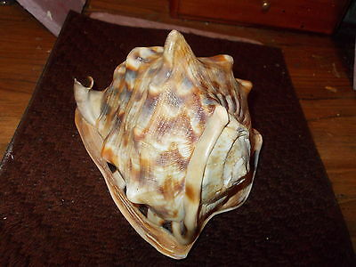Conch  QUEEN shell Cassis Magadascariensis excellent  PRETTY