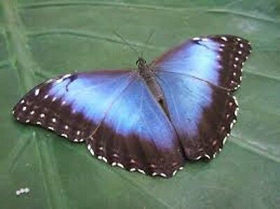 One Real Butterfly Purple Peru Morpho Violaceus Unmounted Wholesale Wings Closed