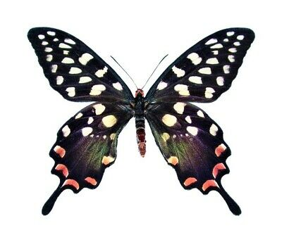 Real Butterfly Pink Madagascar Papilio Antenor Unmounted Papered Wings Closed