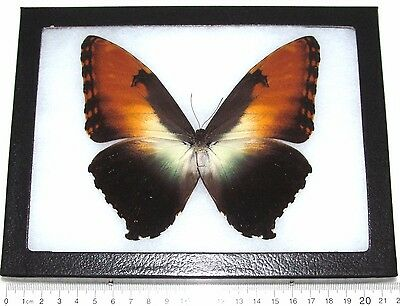Real Framed Butterfly South American Morpho Hecuba