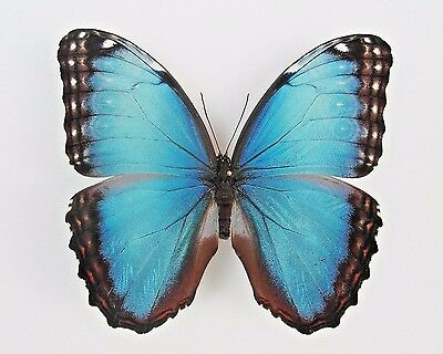 One Real Butterfly Blue Black Morpho Peleides Male Unmounted Wings Closed