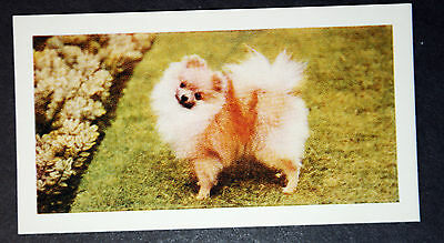 Pomeranian    Vintage Colour Photo Card  ## Excellent Condition