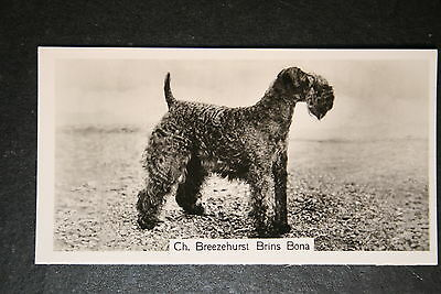 Kerry Blue Terrier  Champion  1930's Vintage Photo Card  VGC