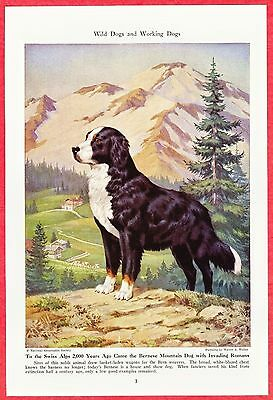 1944 Dog Print Magazine Illustration ~ BERNESE MOUNTAIN DOG ~ by Walter A. Weber