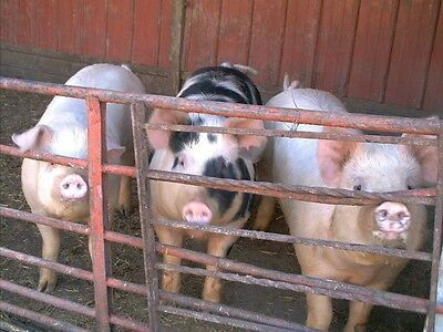 Lets Raise Pigs!65+ Books and Guides On One CD! Care and feeding,PensBreed*