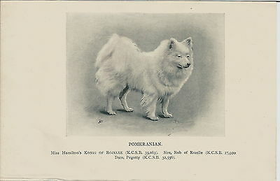 Original Named Pomeranian Dog Print Konig Of Rozelle