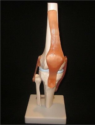 NEW Life Size Anatomical Functional Human Knee Joint Anatomy Model