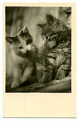 vintage cat postcard real photo gorgeous pair cats kittens