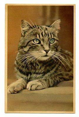 vintage cat postcard gorgeous green eyed grey tabby cat poses