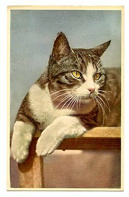 vintage cat postcard lovely grey white cat watches intently 1952