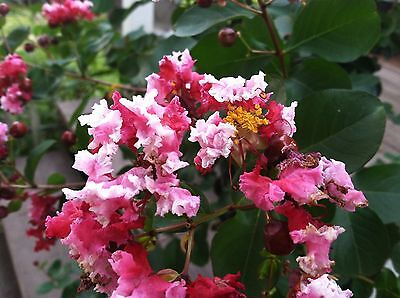 Crepe Myrtle Variegated Pink Peppermint Lace Crape Myrtle Lagerstroemia 15 seeds