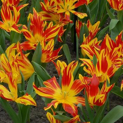 Lot 17f 25 x Bulbs. Bayside Flame Lily Tulip. Clearance Sale BARGAIN !!