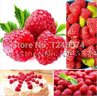 500x Red Raspberry Seeds - Delicious Raspberries - Finest Seeds