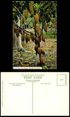 Jamaica Old Colour Postcard Bearing Cocoa Tree Greetings British West Indies BWI