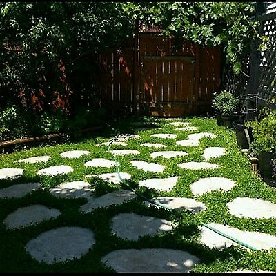 * Miniclover * Lawn Alternative, Ground Cover!! 3000 Seeds
