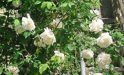 "Climbing Rose ""Madam Alfred Carriere"" excellent climber for north facing sites"