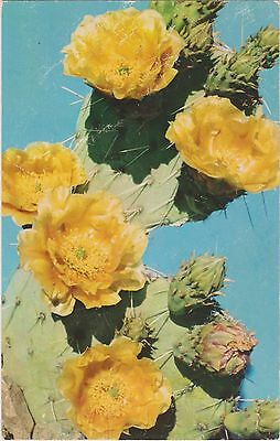Prickly Pear (Opuntia Engelmannii) A Common Cactus in Southwest United States