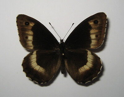 NYMPHALIDAE  HIPPARCHIA HERMIONE, MALE from LITHUANIA