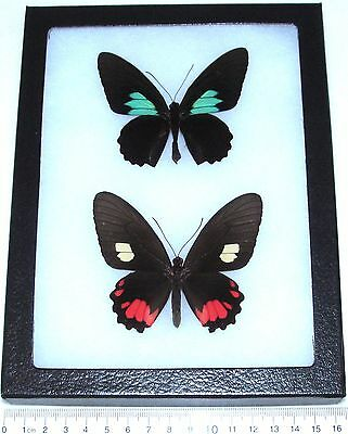 Real Framed Butterflies Parides Sesostris Pair Male Female