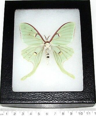 Real Framed Butterfly Saturn Moth Saturniidae Green Actias Luna Female F3
