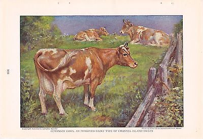 1925 Guernsey Cows - Cattle of the World Edward Herbert Miner Vintage Cow Print