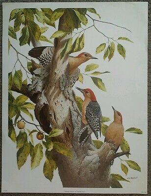 """Vintage Out of Print A J RUDISILL Red Bellied Woodpecker Family Print 12x16"""""""