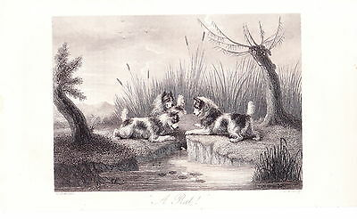 G Armfield Terrier Dog Group Ratting Dog Engraving Dog Print