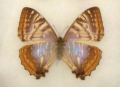 Real Morpho Sulkowski Female Butterfly Wings Closed Unmounted Papered