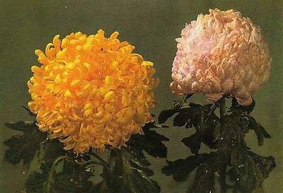 Post Card - chrysanthemum (4) / Publisher from China