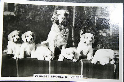 Clumber Spaniel and Puppies    Original Vintage Photo Card   VGC