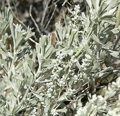 Artemisia tridentata UNIQUE SHRUB Seeds